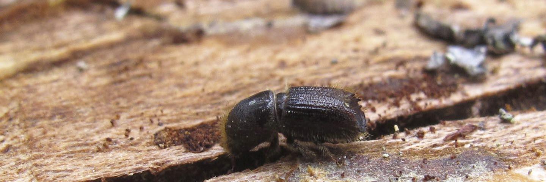 Granbarkborre ´, angripen skog, insekt