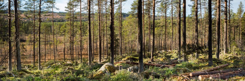 Tallskog efter gallring