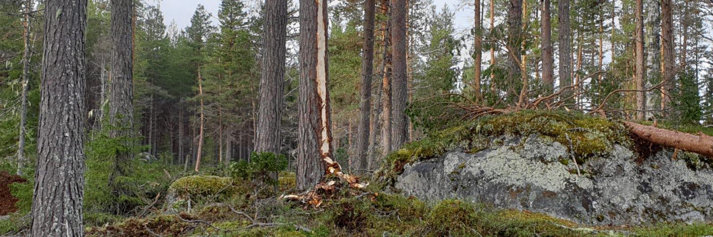 Avverkning för återskapad tjäderplats Ångermanland