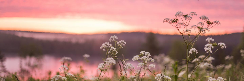 Blommande hundkex på äng med skog i bakgrunden