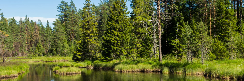Skog vid sjö, forest by a lake
