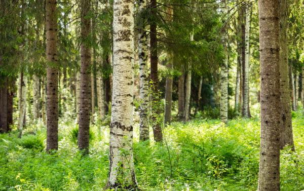 Lövskog med björk och gran 6376.jpg
