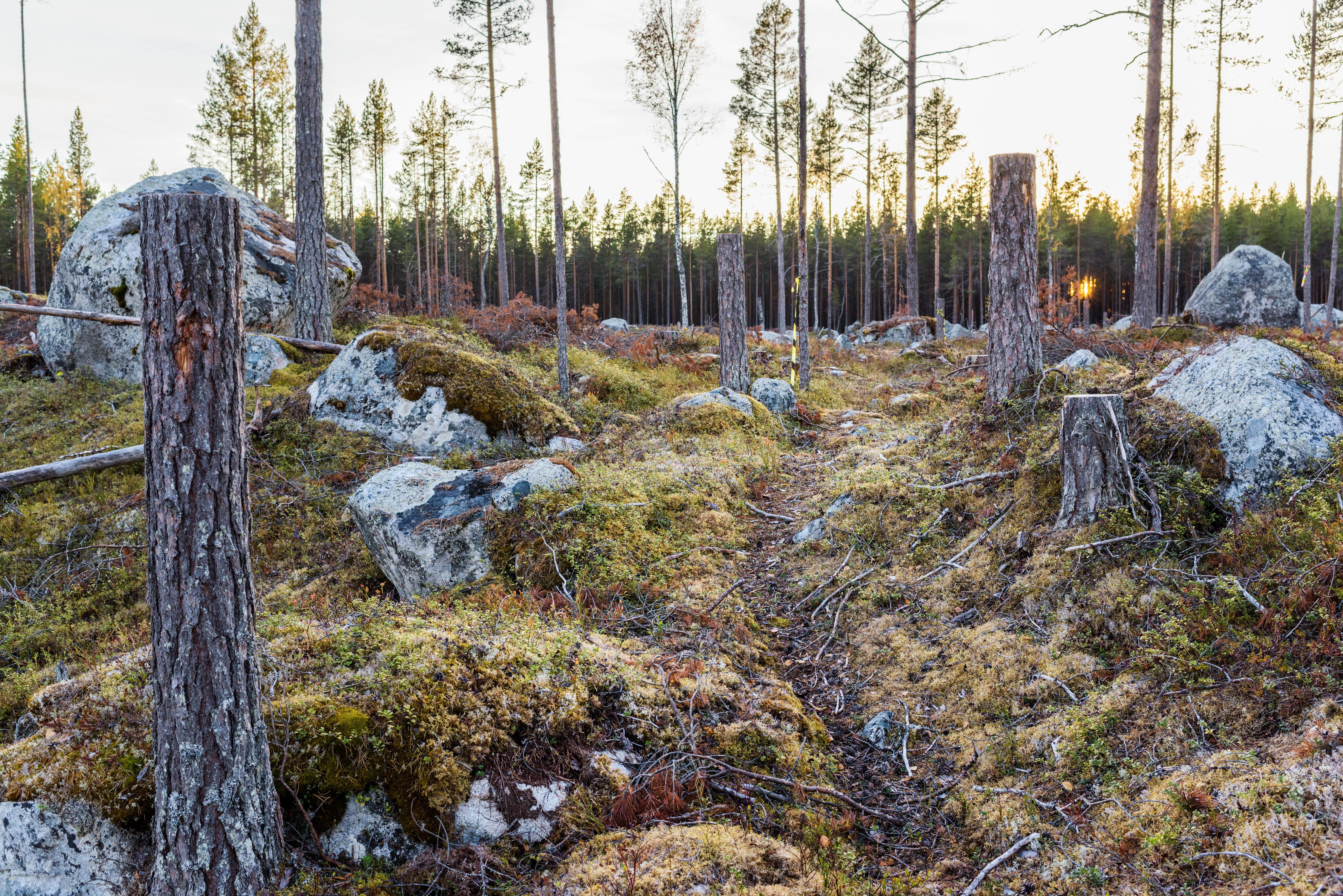 Stig i skogen med kulturstubbar, kulturlämning