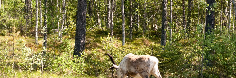 Renar i sommarmiljö. Reindeer.