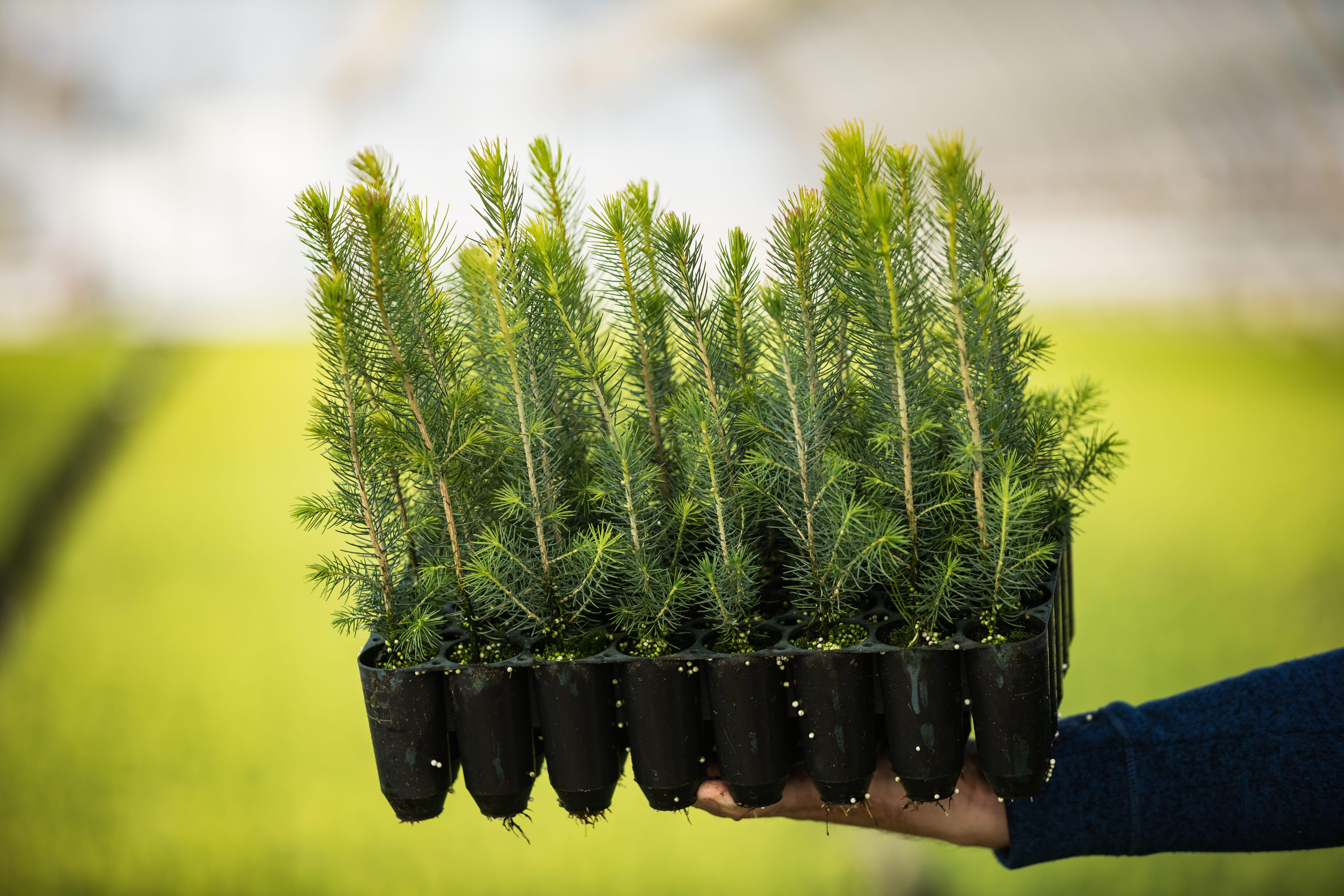 SuperPot granplantor Bogrundets plantskola, NorrPlant.