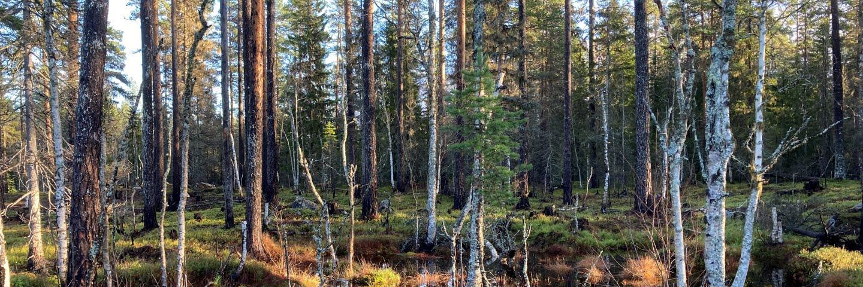 Liten våtmark vid brandfält Sörgraninge mångfaldspark