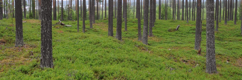 Tallskog i Maljan, ÅngePine forest
