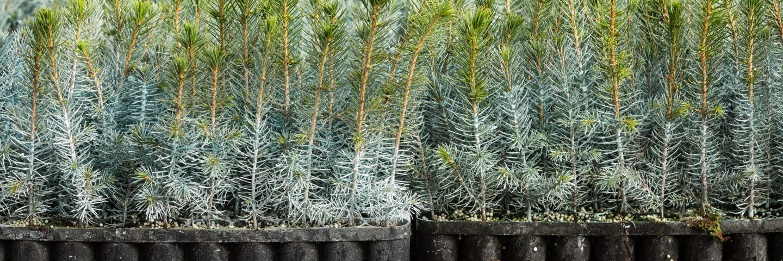 Kasett med plantor med Hylosafe, NorrPlant, seedlings with Hylosafe