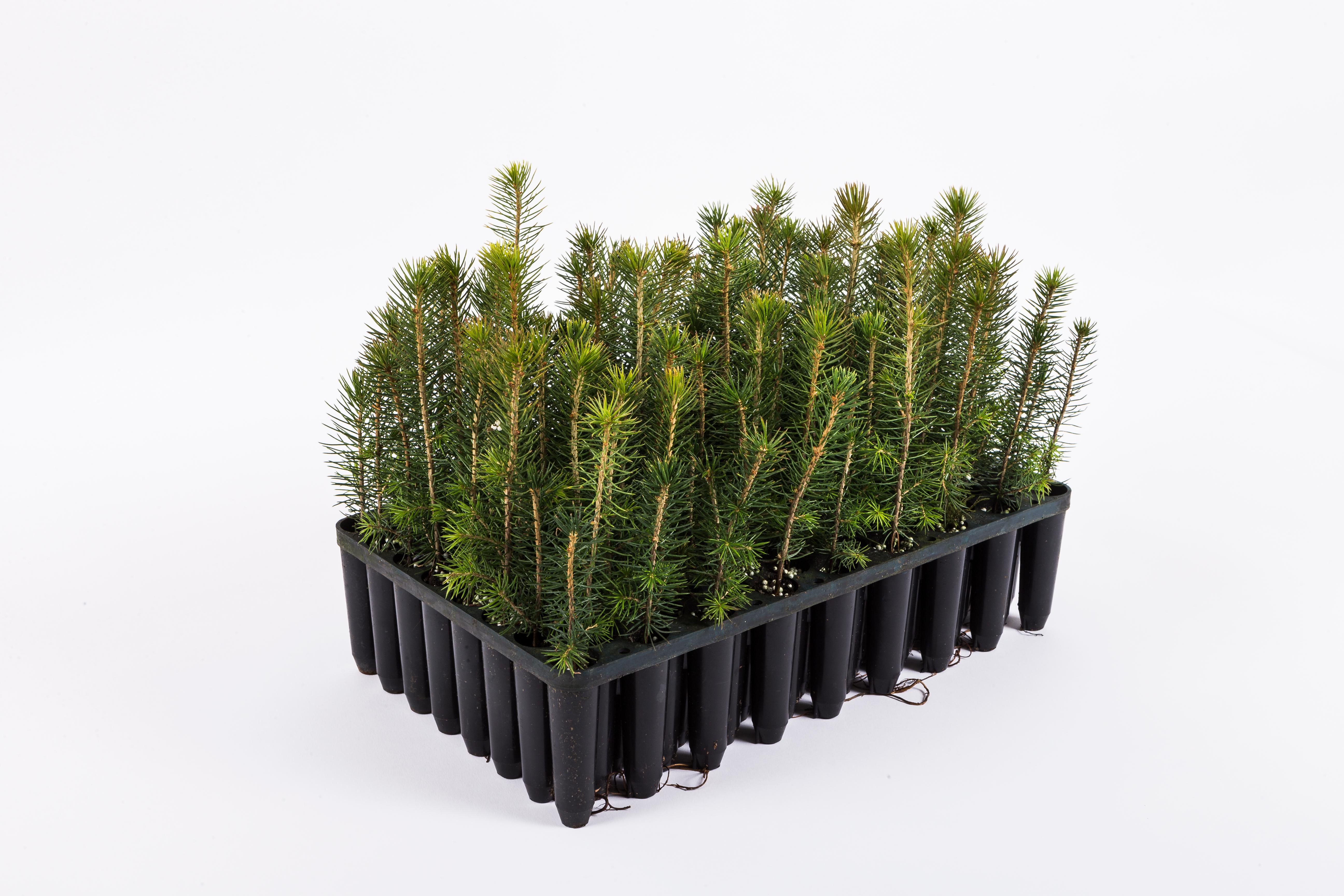 Plantlåda granplantor PowerPot  NorrPlantPowerPot spruce seedlings  NorrPlant