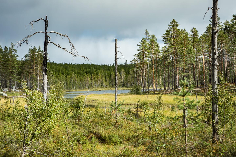 Naturvårdsbränd tallskog, efter naturvårdsbränning i Medelpad. Utförd 2014, bilder från 2018
