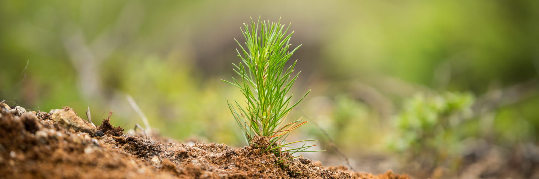 Planta planterard på hygget, seedlings in the forest