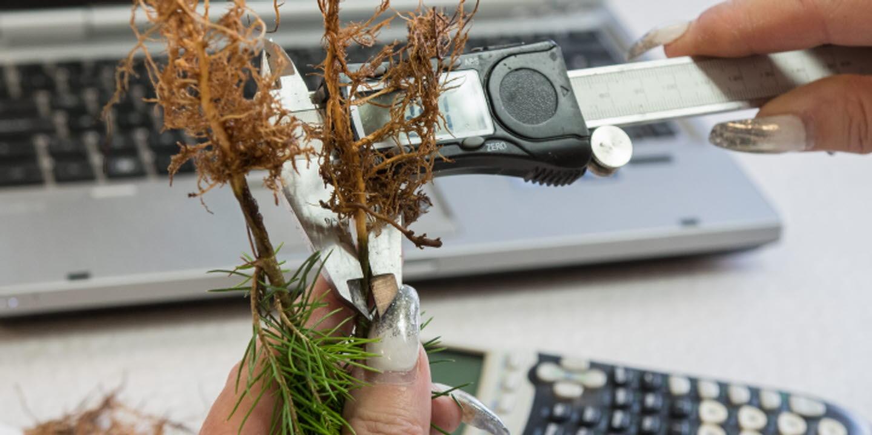 Kvalitetskontroll av plantor på Bogrundet, NOrrPlant, mäter roten, quality control of seedlings