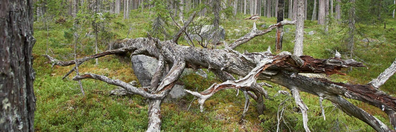 Invigningen av Sörgraninge mångfaldspark i Sollefteå Kommun.