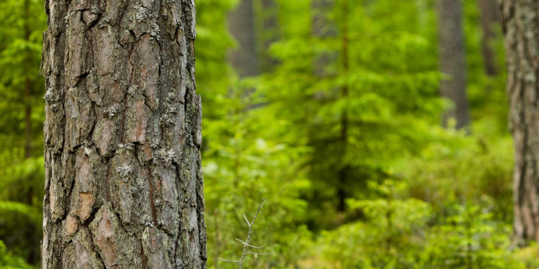 Tallstammar i skogen, Pine stems in the forest