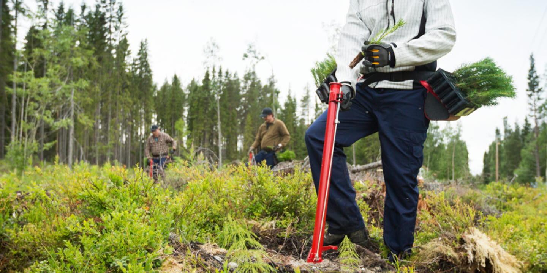 Plantör i skogen planterar plantor, planting seedlings in the forest
