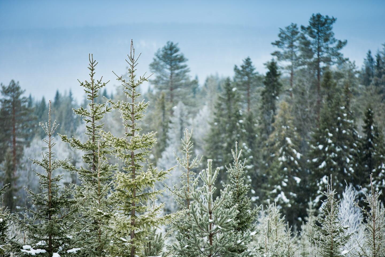 interskog med gröna trädhög upplöstning, Winter forest, high resolution