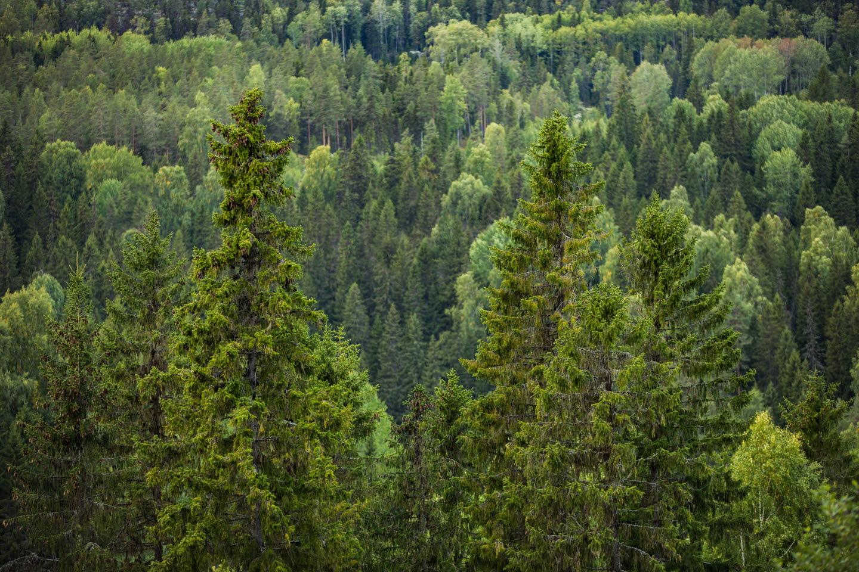 Skogsvy med stora granar, skog, granar, forest, spruces