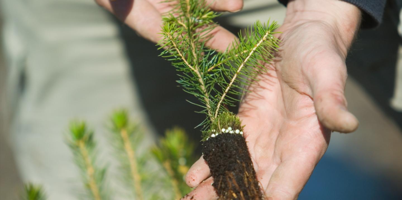 Spruce seedling. Granplanta.
