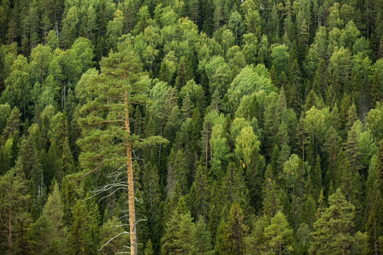 Skogsvy med tall och granar, Forest with big pine and spruces