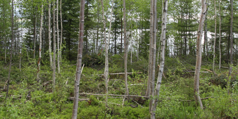 Framgallrad lövskog Tjäderbergets mångfaldspark