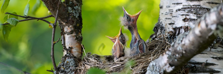 Trastungar i ett fågelboThrush kids in a bird´s nest