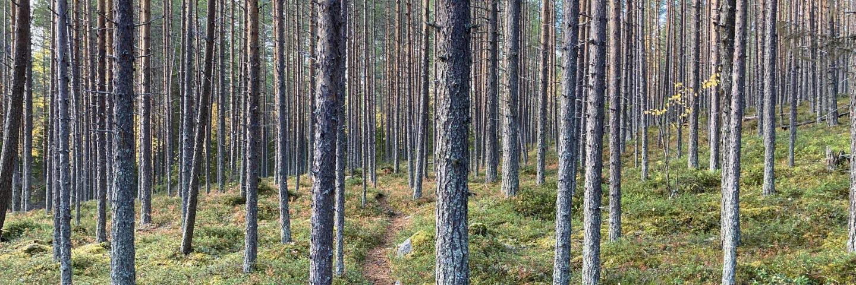 Tjäderbergets mångfaldspark, 90-årigt självföryngrat tallbestånd
