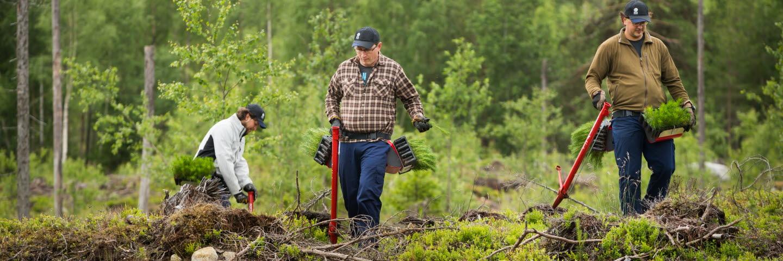 Plantörer planterar plantor i skogen, planting seedlings in the forest