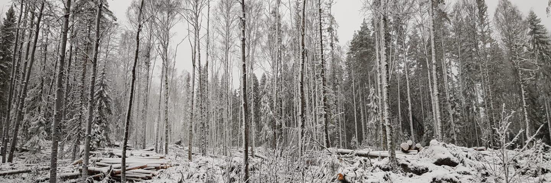 Naturvårdsavverkning i lövrik skog västra Medelpad