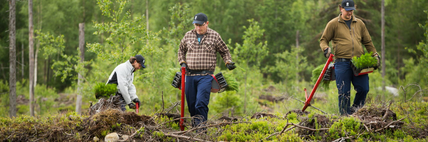 Plantörer planterar plantor i skogen, planting seedlings in the forest